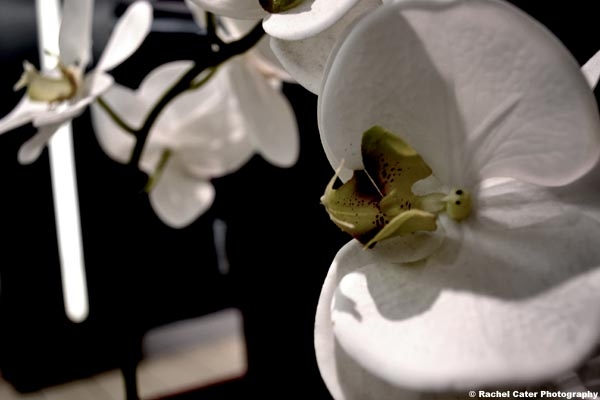 orchid Rachel Cater Photography