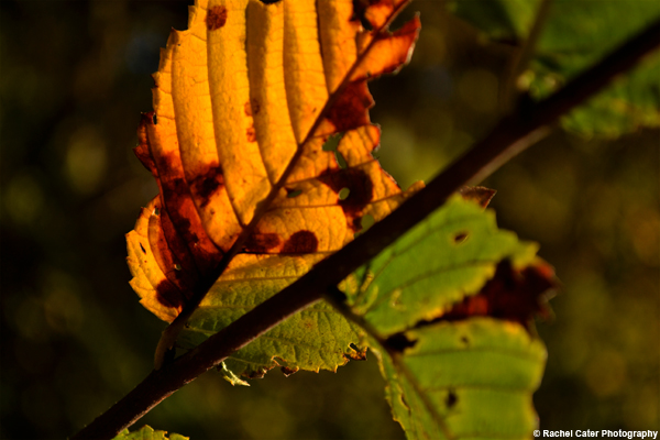 Shining Leaf Rachel Cater Photography
