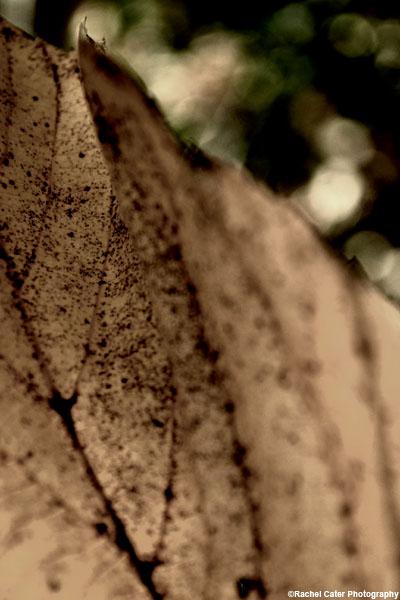 autumn leaf rachel cater photography