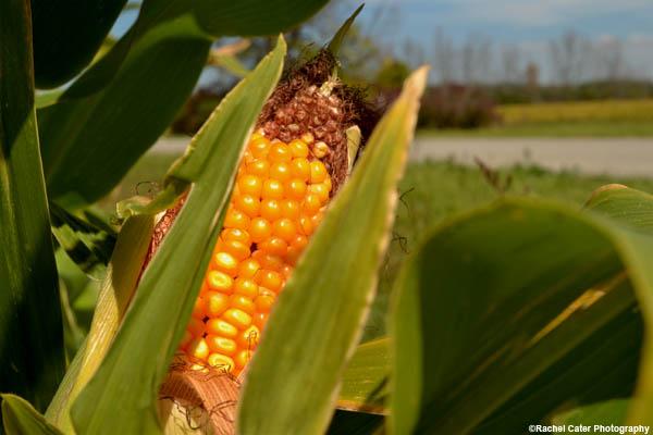 maturing corn rachel cater photography