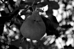 pear tree rachel cater photography
