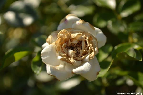 italian flower rachel cater photography