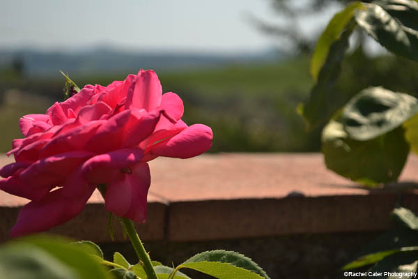 Tuscan Flower Rachel Cater Photography