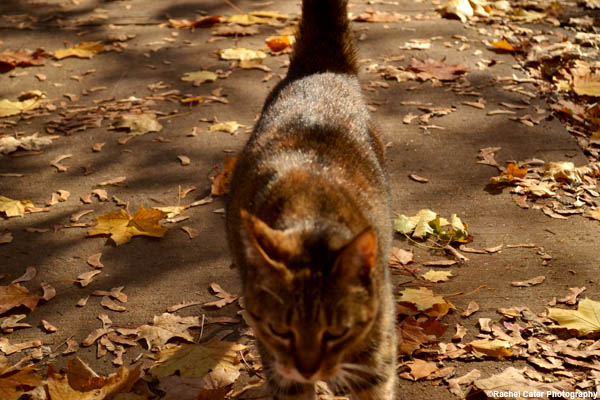 autumn cat Rachel Cater Photography