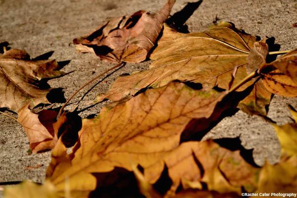 autumn leaves rachel cater photography copy