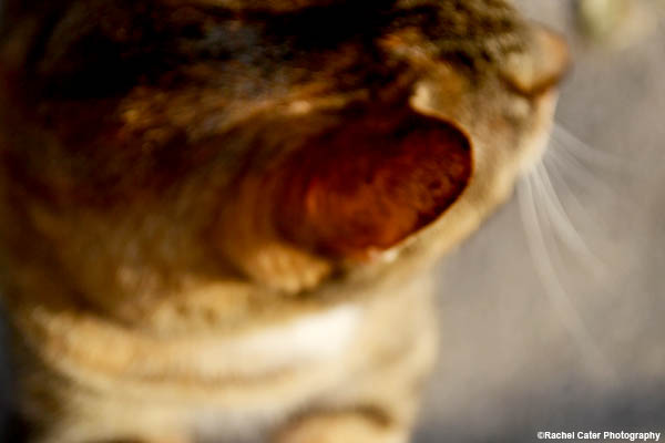 cat ear rachel cater photography copy