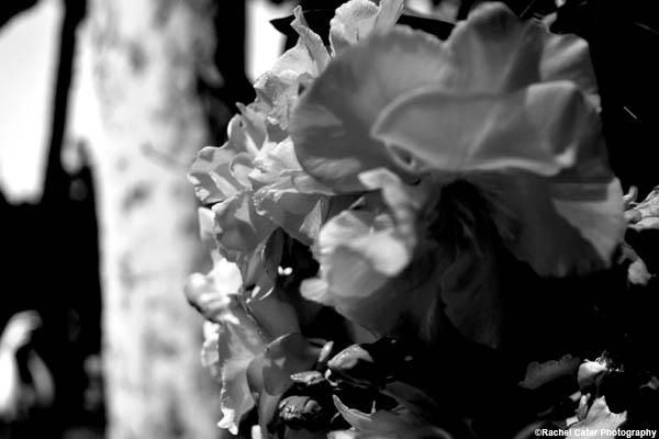 Dramatic Monochrome Flower rachel cater photography