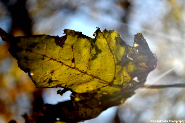 Ethereal autumn leaf rachel cater photography copy