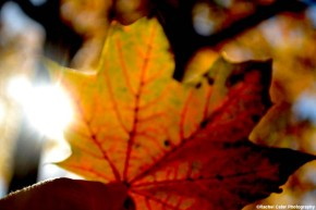 Ethereal Leaf in Autumn Rachel Cater Photography