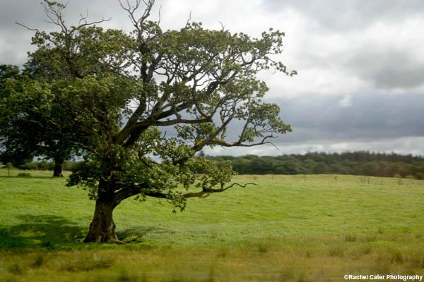 irish tree edited rachel cater photography