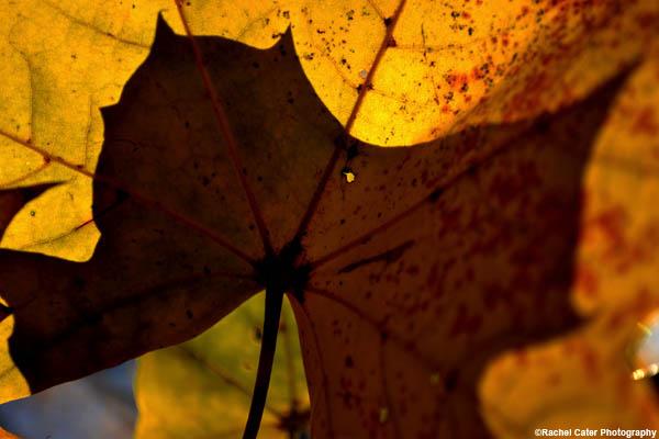Shadow Leaf Rachel Cater Photography
