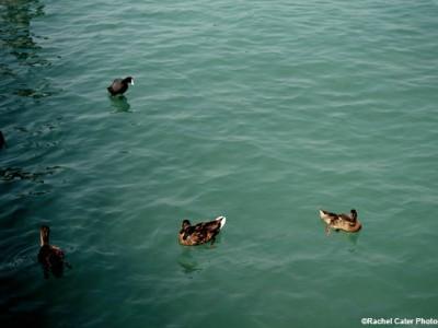 Ducks Rachel Cater Photography