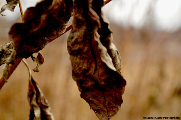 Dying Leaf Rachel Cater Photography