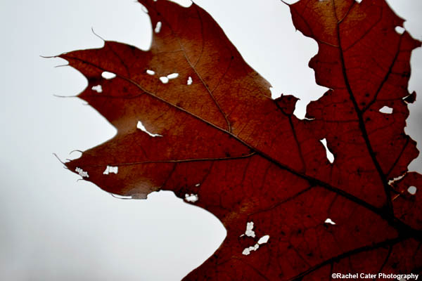 Maple Leaf Rachel Cater Photography