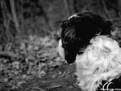 Pensive Scamp Dog Rachel Cater Photography