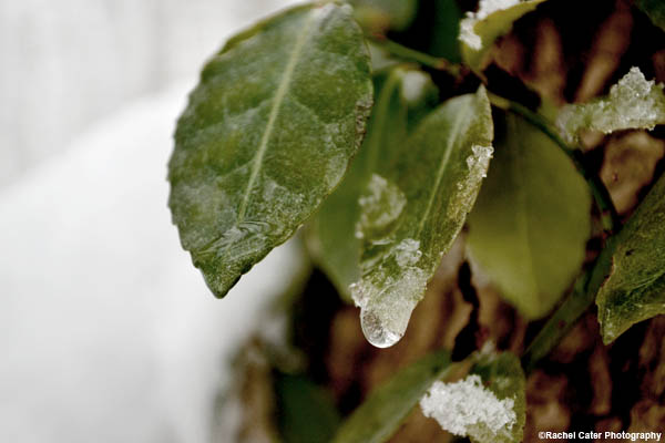 icy-leaf-on-a-tree-rachel-cater-photography.