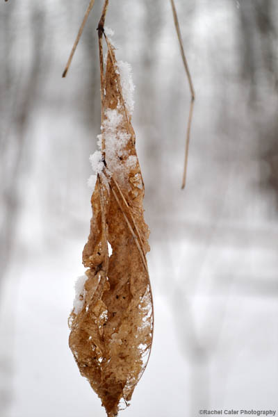 Snowy leaf rachel cater photography