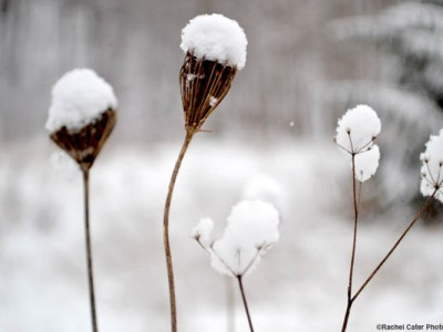 Snowy Flower Rachel Cater Photography