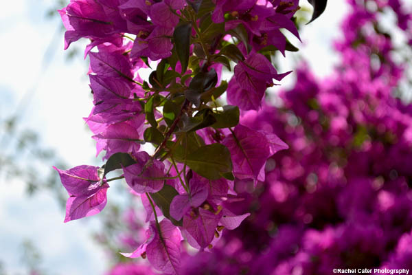 purple-paradise-rachel-cater-photography