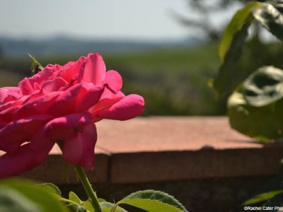 A flower in Tuscany Rachel Cater Photography