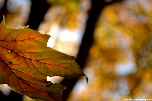 Vibrant Ethereal Autumn Leaf Rachel Cater Photography