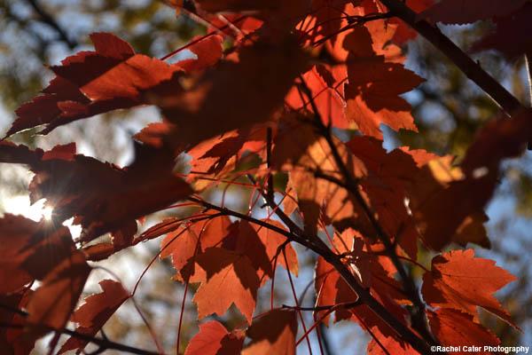virbant autumn leaves rachel cater photography