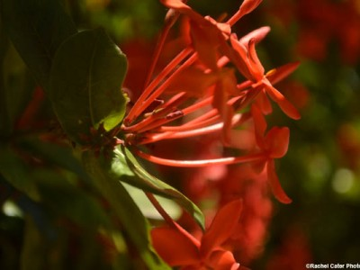 red-flower-in-cuba-rachel-cater-photography