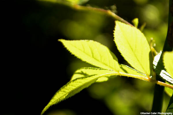 glowing-leaf-rachel-cater-photography