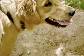 golden-retrieve-who-me-rachel-cater-photography