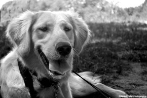 golden-retriever-black-and-white-portrait-rachel-cater-photography