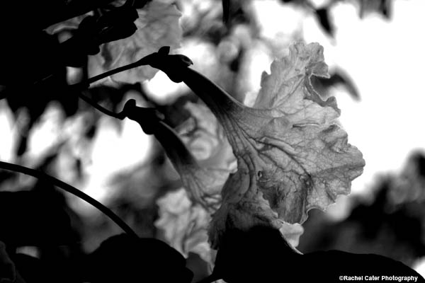 monochrome-flower-in-cuba-rachel-cater-photography