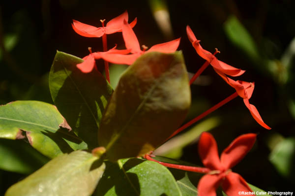 tropical-red-flower-in-cuba-rachel-cater-photography