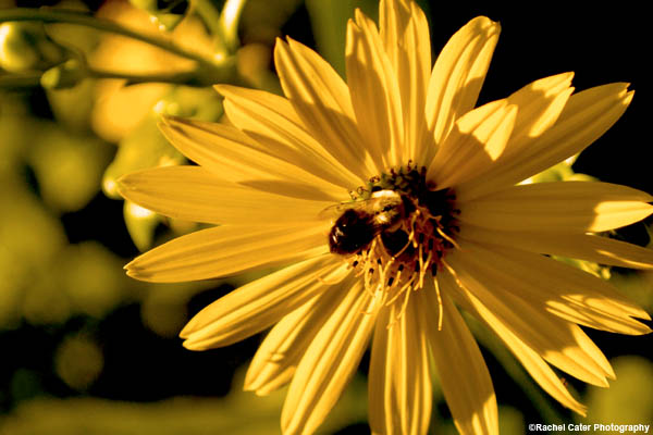 bee-on-flower-rachel-cater-photography