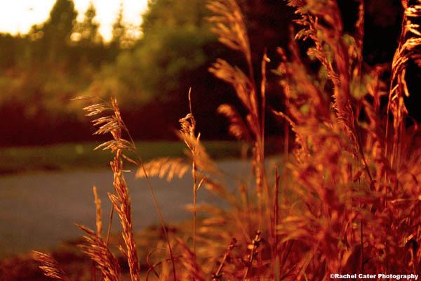 nature at sunset grass rachel cater photography