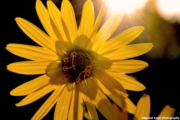 sunflower and sunlight rachel cater photography