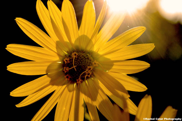 sunflower and sunlight rachel cater photography