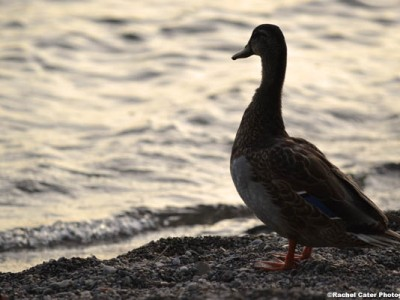duck at dawn rachel cater photography