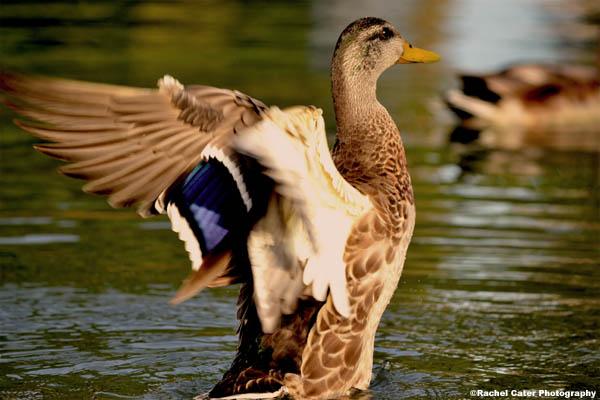 fierce duck rachel cater photography