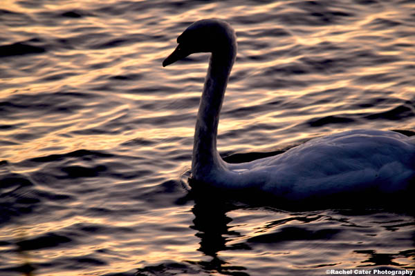 swan song rachel cater photography