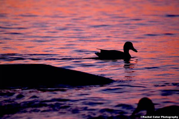 Ducks at Dawn rachel cater photography