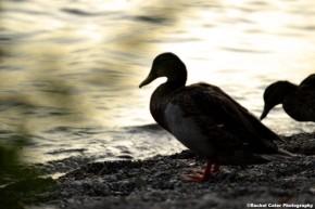 Ducks at shore of Lake Ontario Rachel Cater Photography
