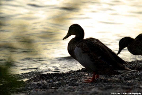 Ducks at shore of Lake Ontario Rachel Cater Photography