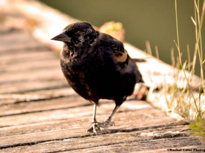 Sassy Red Winged Black Bird Rachel Cater Photography