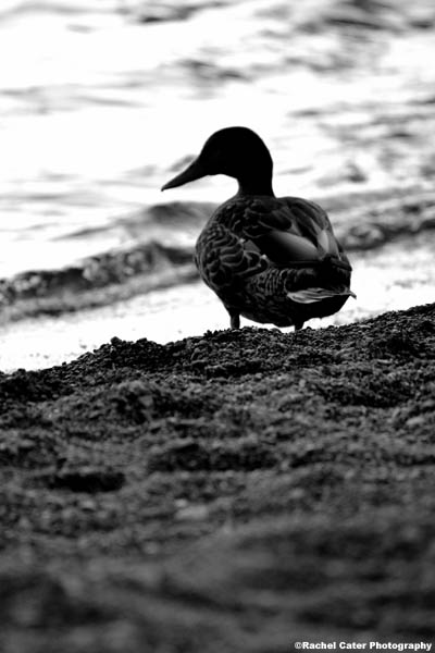 black and white Duck Rachel Cater Photography