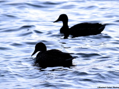 Peaceful Ducks Rachel Cater Photography