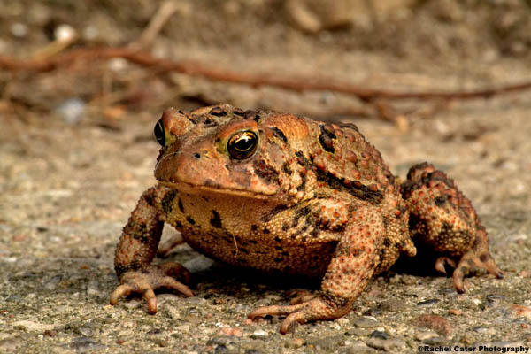 Weary Toad Rachel Cater Photography